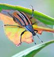 Diaprepes root weevil Pest Profile